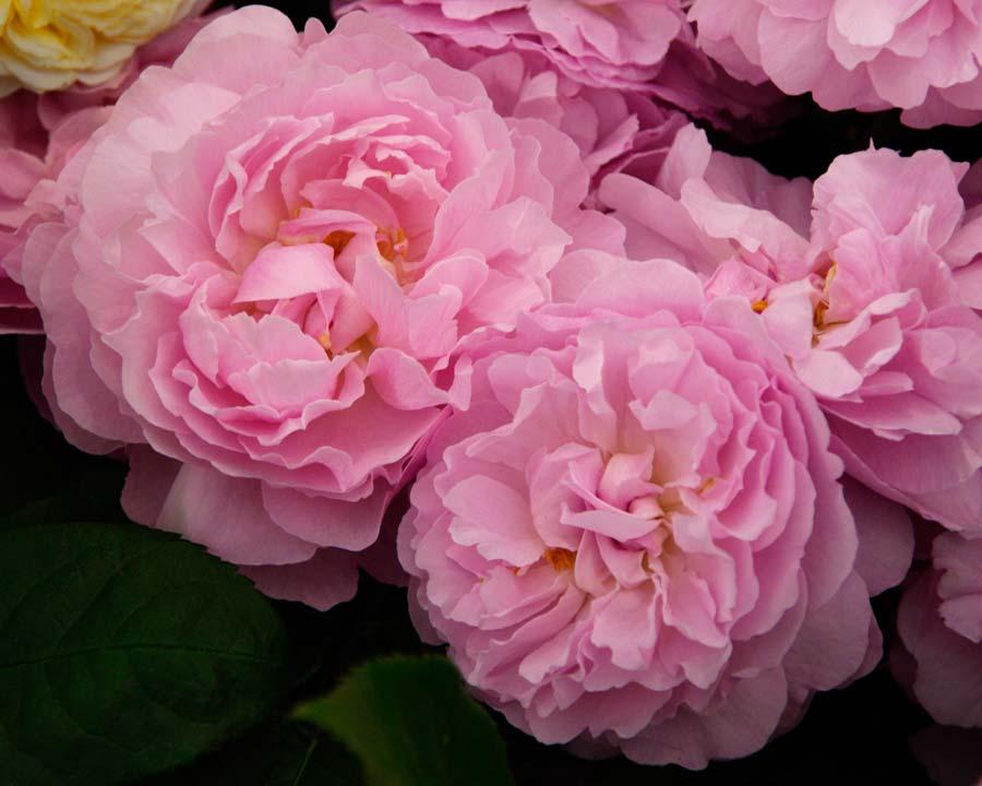 Rosa David Austin Mary Rose
