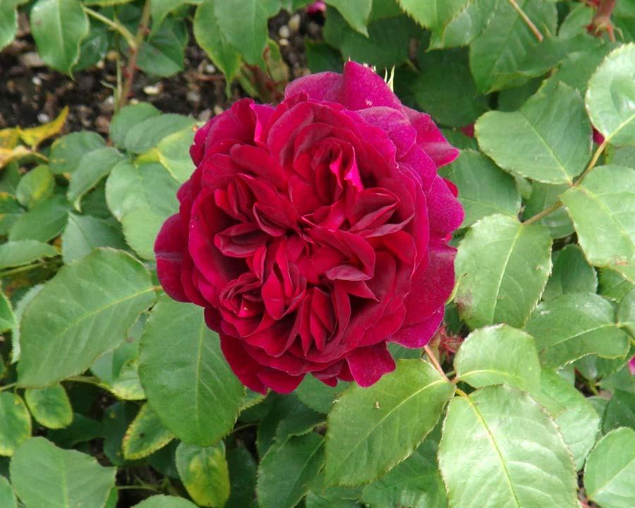 Rosa David Austin Munstead Wood