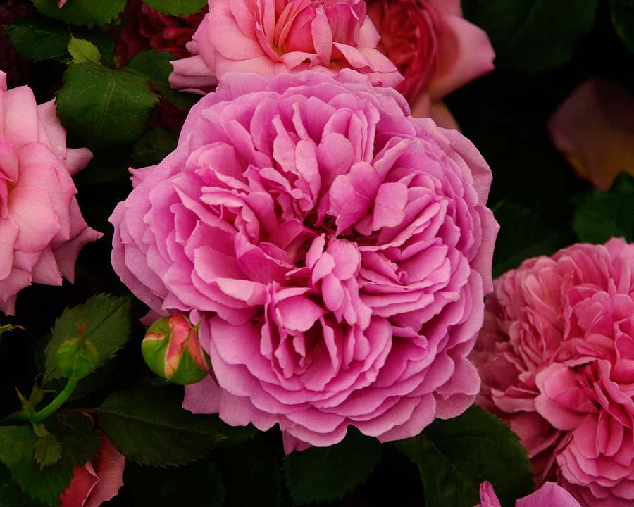 Rosa David Austin Princess Alexandra of Kent