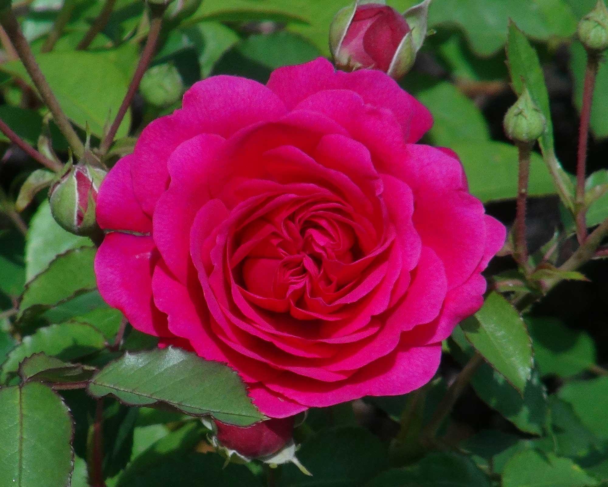 Rosa David Austin Sir John Betjeman