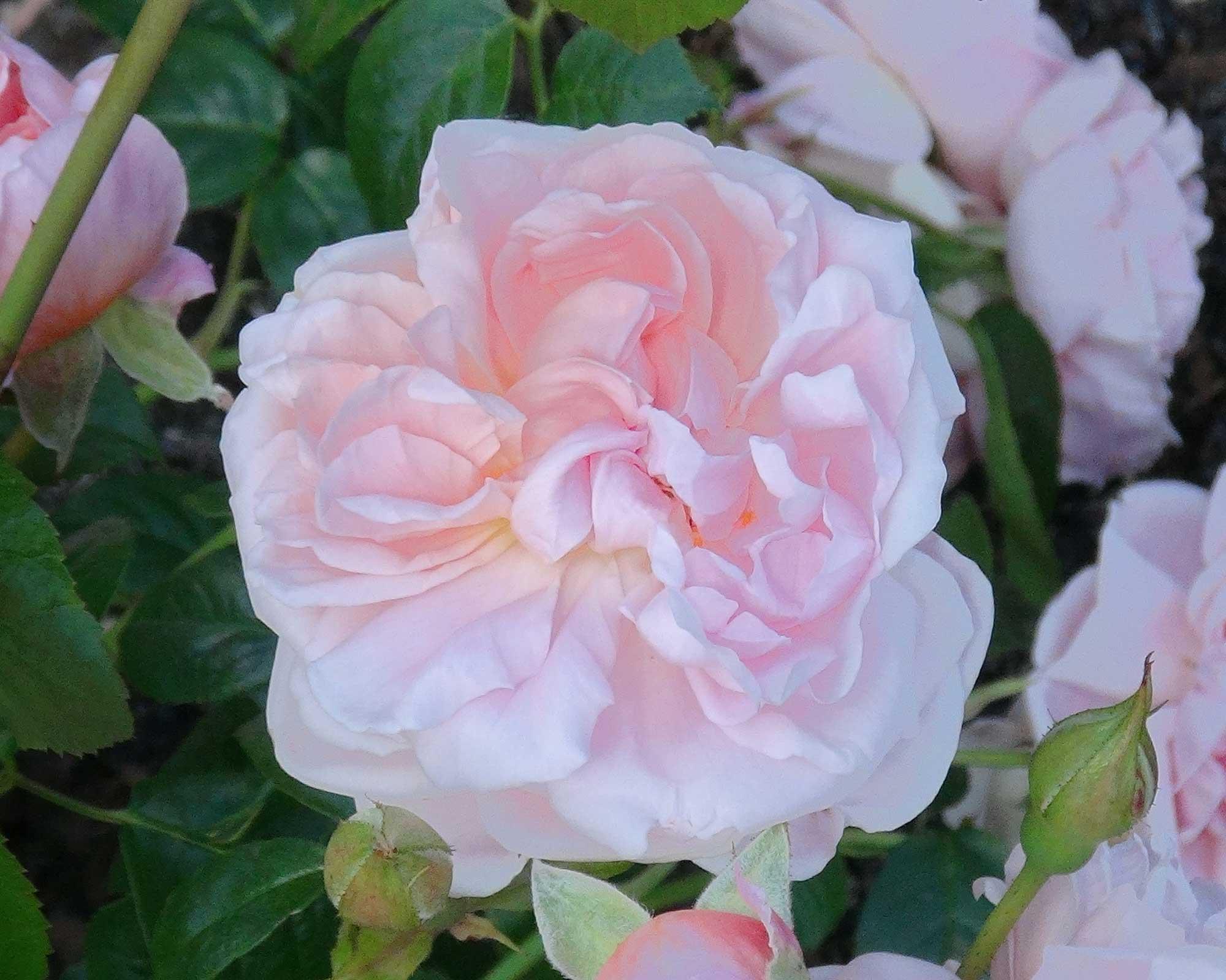 Rosa David Austin Strawberry Hill.