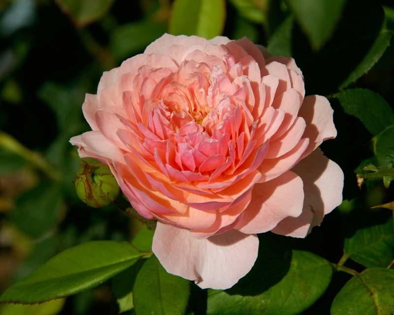 Rosa David Austin The Alnwick Rose