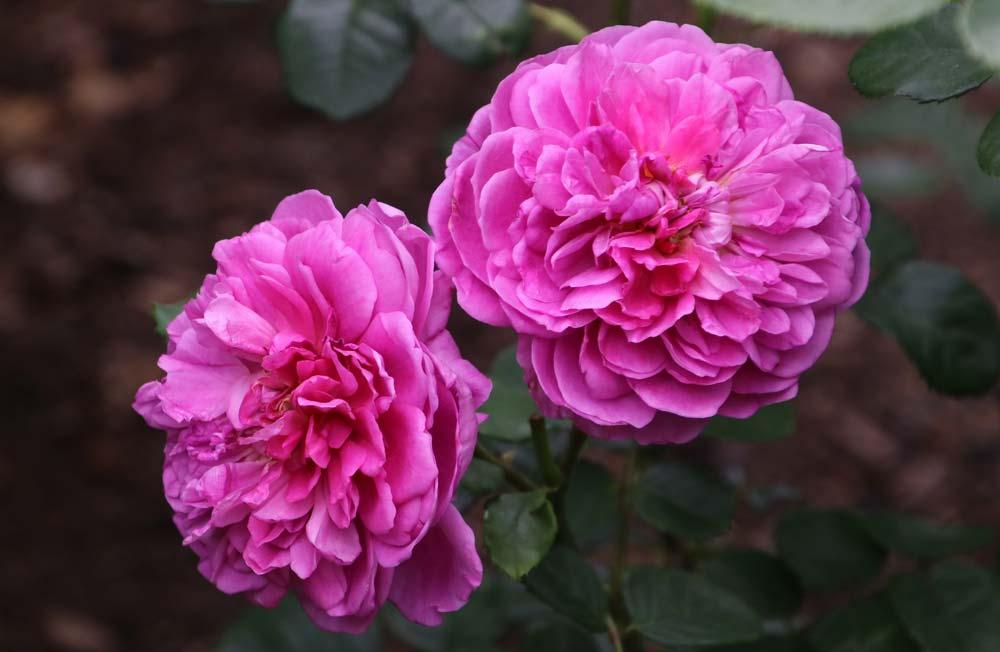 Rosa x Princess Anne by David Austin