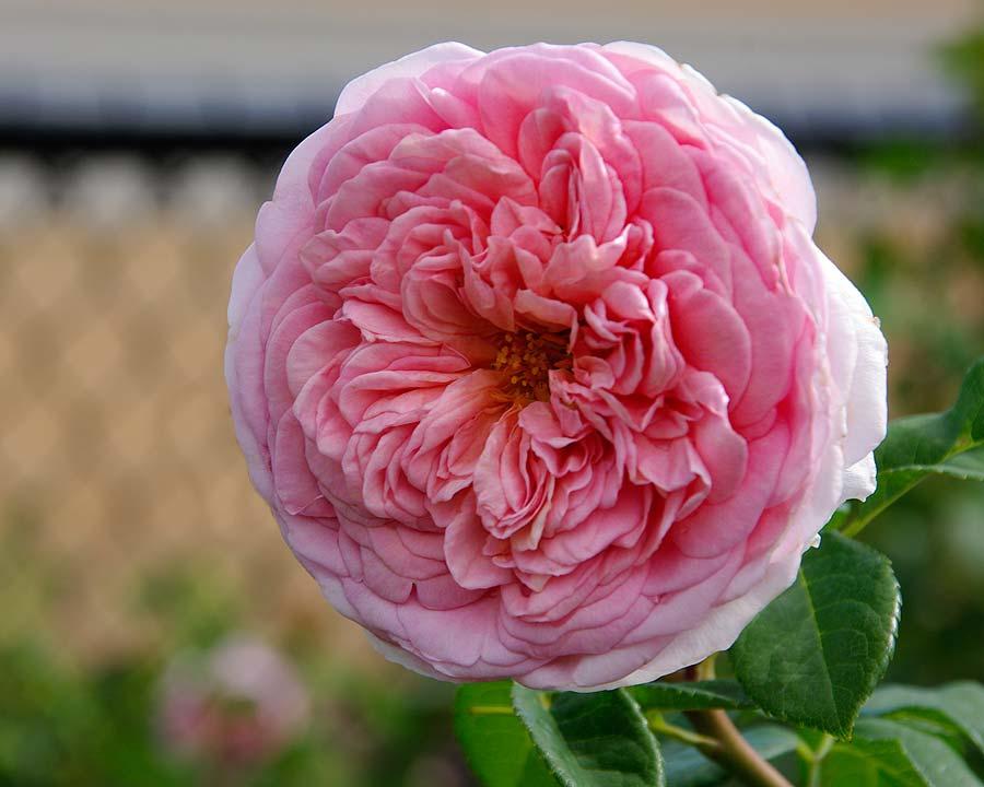 Rosa English Rose Abraham Derby