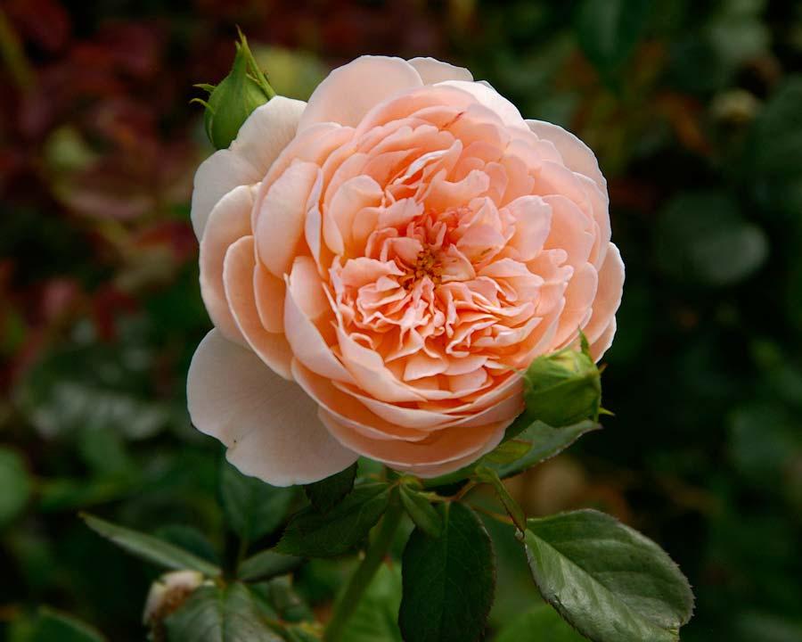 Rosa David Austin - Ambridge