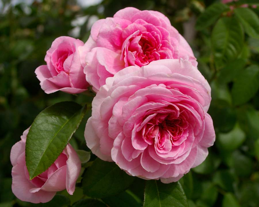 Rosa David austin - Gertude Jekyl