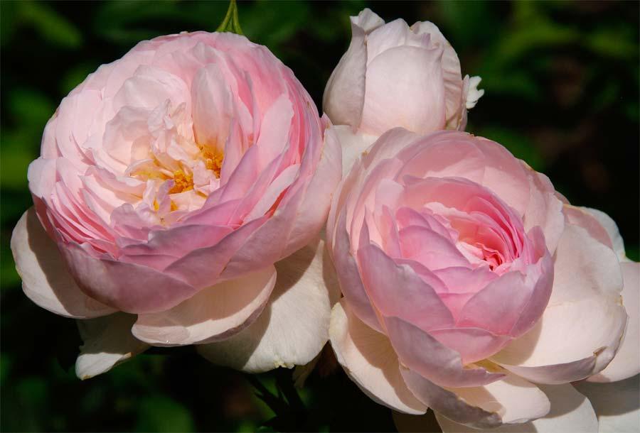 Rosa David Austin - Heritage