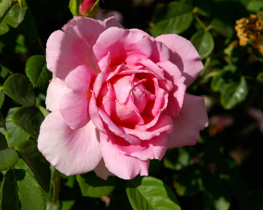 Rosa David austin - Immortal Juno