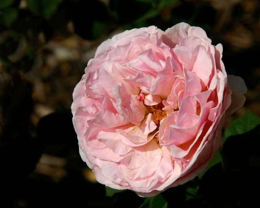 Rosa David Austin - Lilac Rose