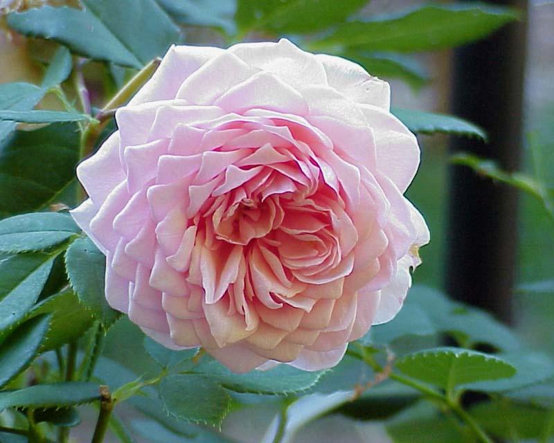 Rosa David Austin Group - William Morris