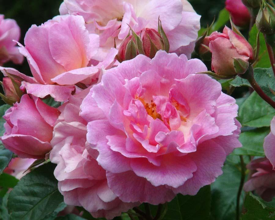 Rosa Climbing Group Chaplins Pink Companion