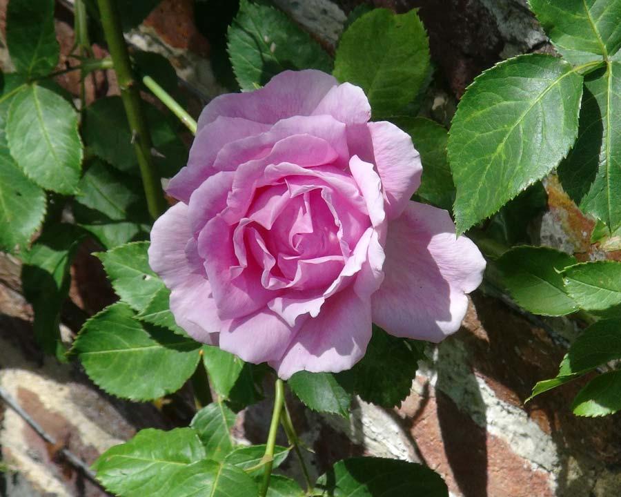 Rosa Climber Colcestrum