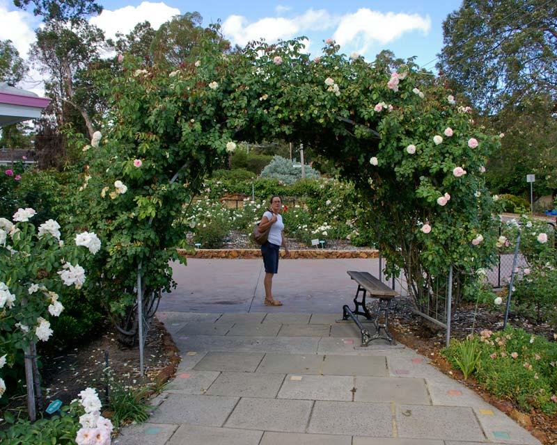 Gardensonline rosa climbing and rambler group modern hybrid for Pierre de ronsard rosa