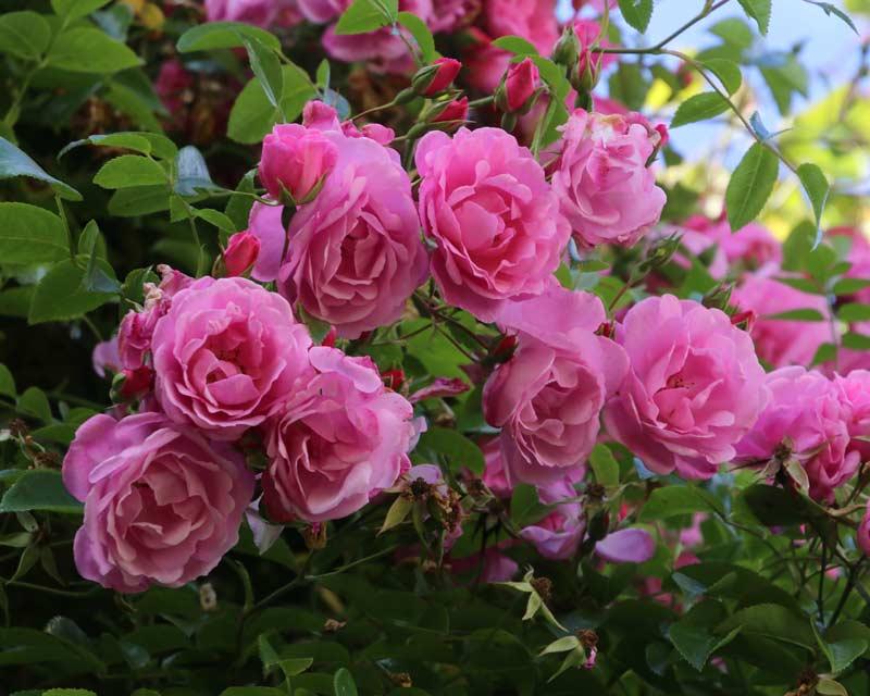 Cllimbing rose - unknown hybrid