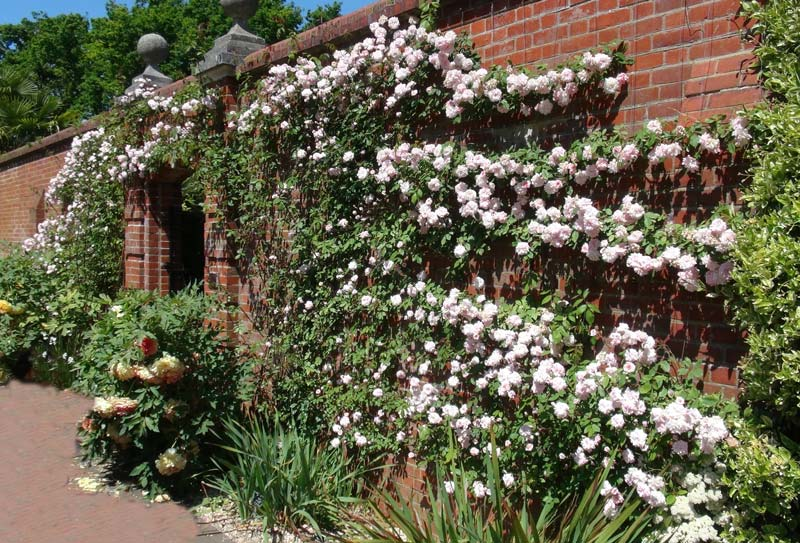Abundant pale pink flowers during early summer - climbing rose Rosa Cecile Brunner