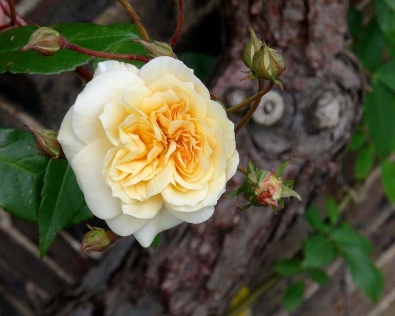 The delicate yellow flowers of the climbing rose, Rosa Claire Jacquier