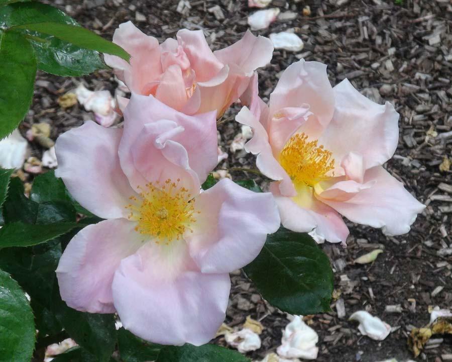 Rosa Climbing Cupid