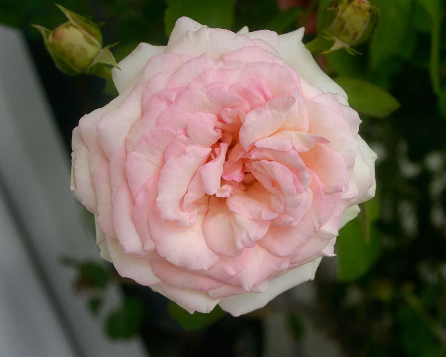 Rosa climber - Pierre de Ronsard