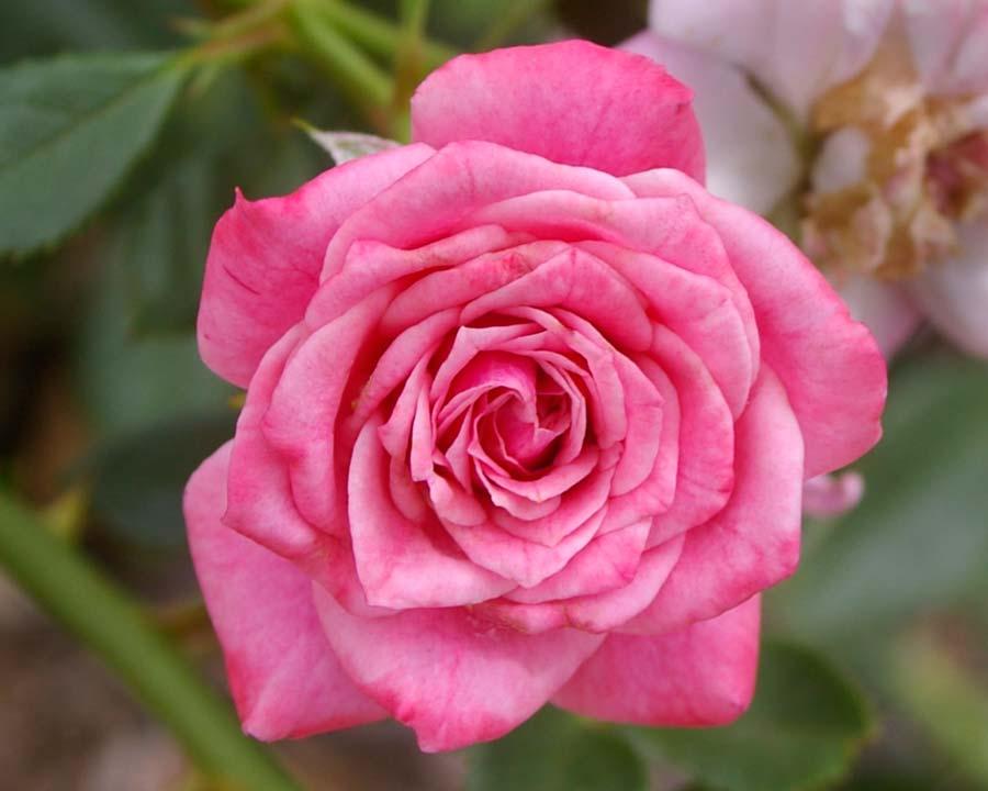Rosa climbing - Jeanne La Joie