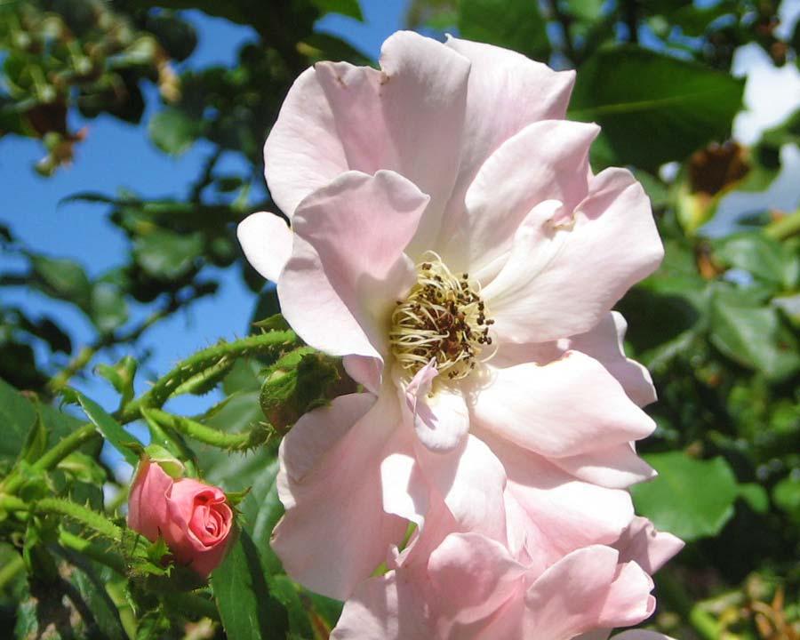 Rosa climbing - Sparieshoop