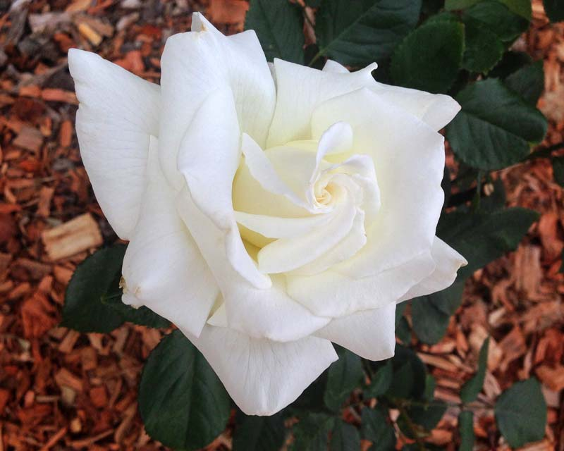 Rosa Hybrid Tea - Pope John Paul II  described as one of the finest white roses ever. Has a fresh citrus fragrance