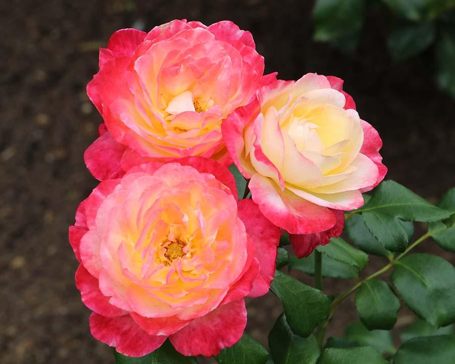 Rosa Hybrid Tea Andrea Jane