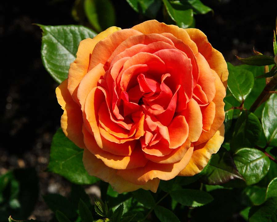 Rosa Hybrid Tea Ashram, bred by Rosa Tantau in Germany