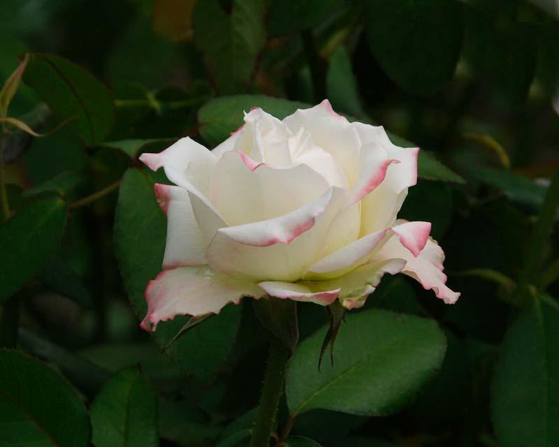 Rosa Hybrid Tea Athena