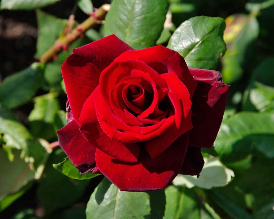 Rosa Hybrid Tea - Barkarole bred by Rosa Tantau in Germany