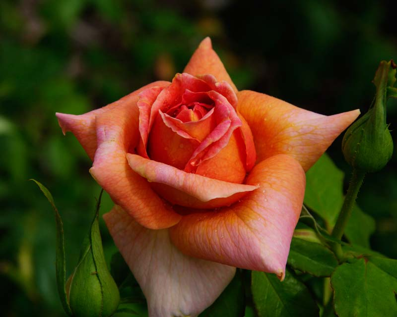 Rosa Hybrid Tea Bettina