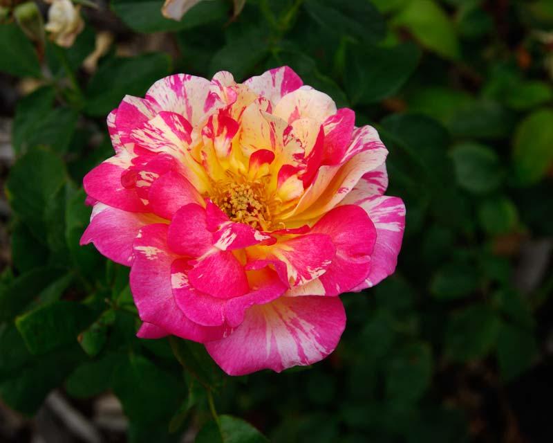 Rosa Hybrid Tea Cabana