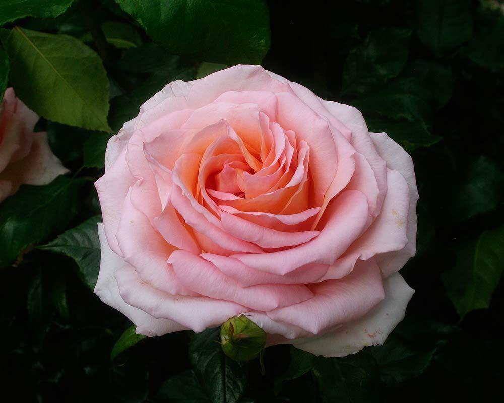 Rosa Hybrid Tea 'Chandos Beauty'