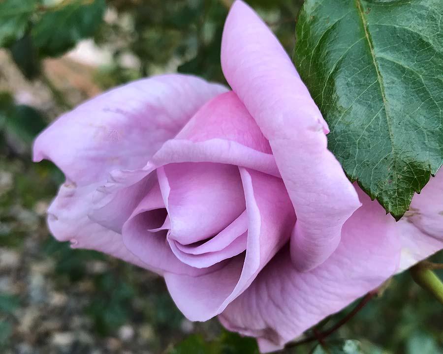Rosa Hybrid Tea 'Charles de Gaulle'