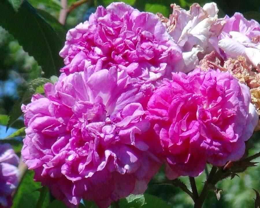 Rosa Hybrid Tea Dr Edward Deacon