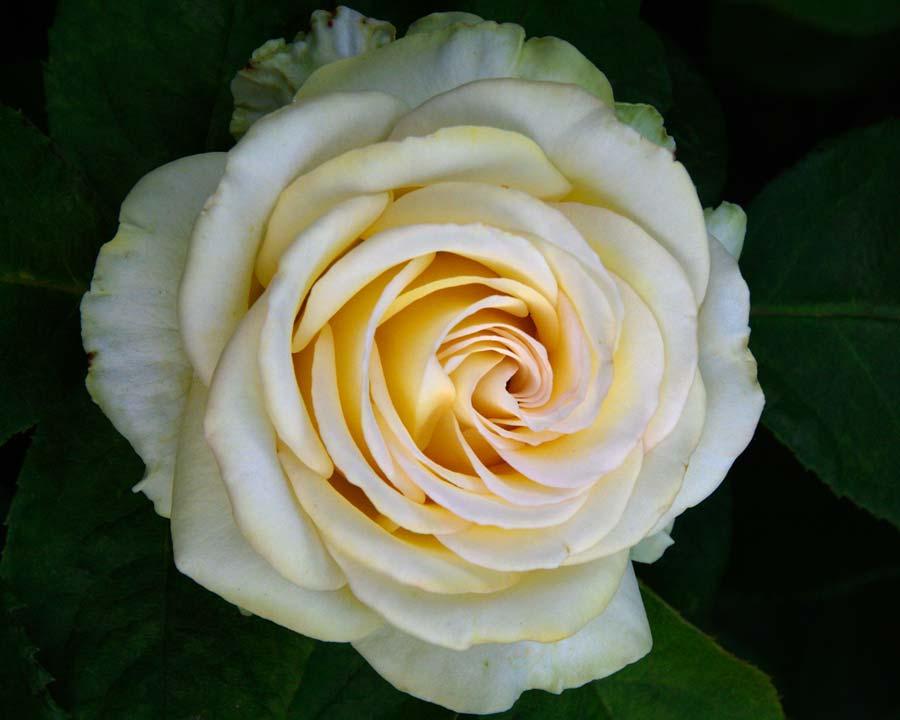 Rosa Hybrid Tea - Glowing bred by Poulsen Roses of Denmark