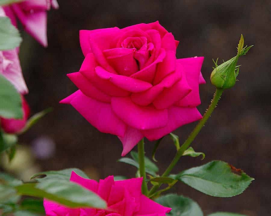 Rosa Hybrid Tea 'In Appreciation'