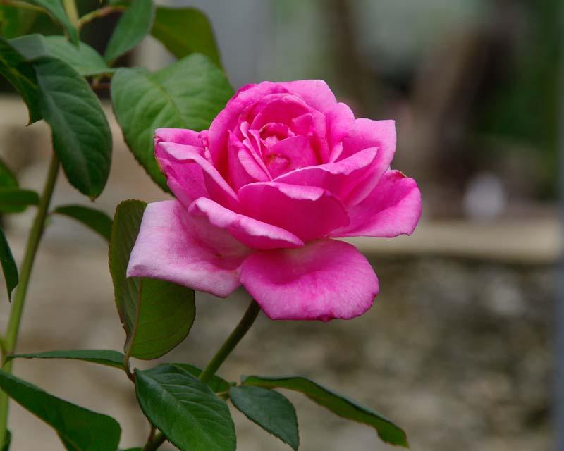 Rosa Hybrid Tea Jacaranda
