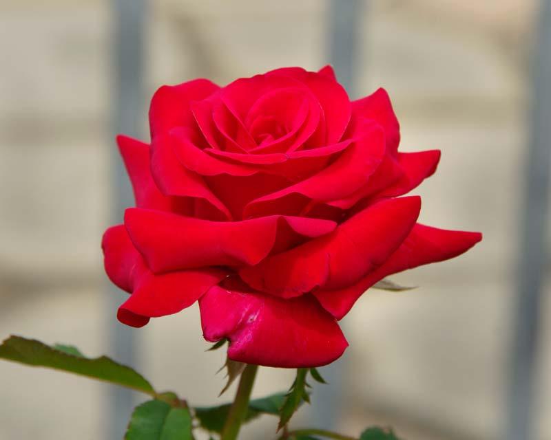 Rosa Hybrid Tea Kardinal