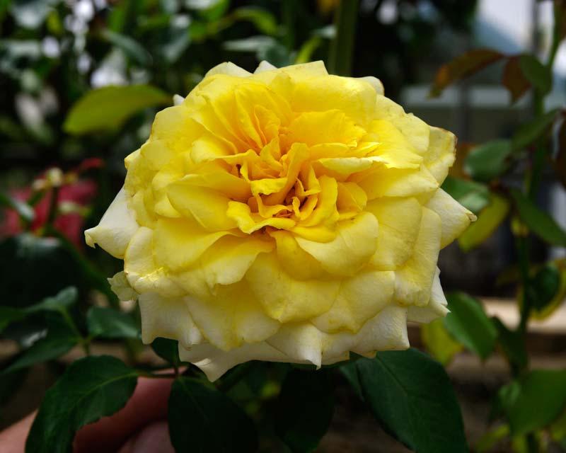 Rosa Hybrid Tea Limelight