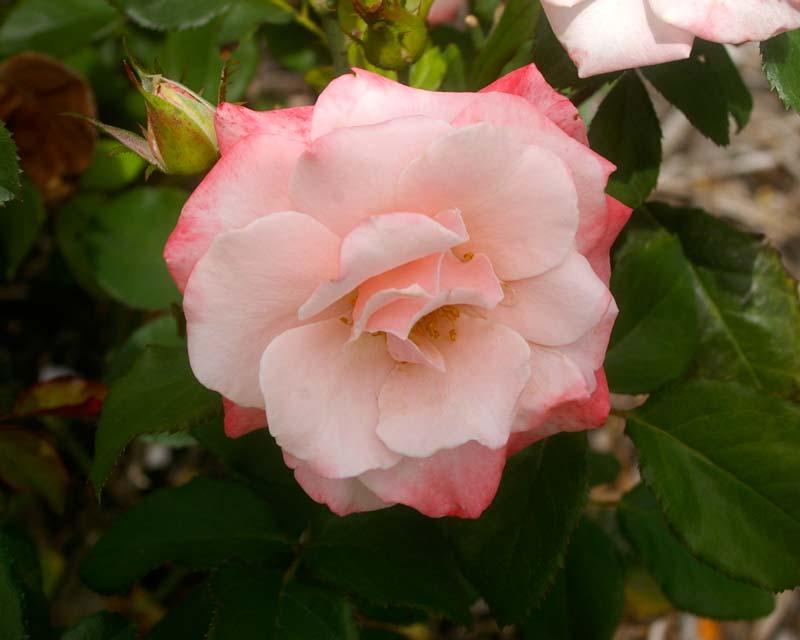 Rosa Hybrid Tea Mary McKillop