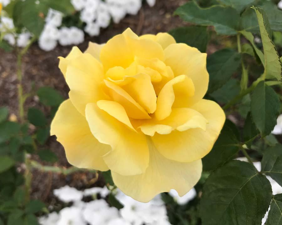 Rose Tybrid Tea, 'Midas Touch'
