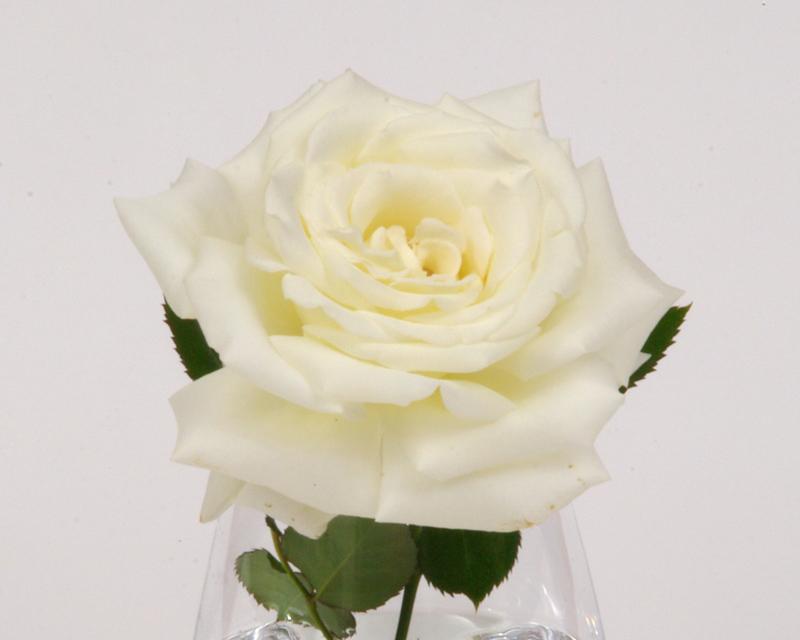 Rosa hybrid Tea Pope John Paul II - possibly the best white rose