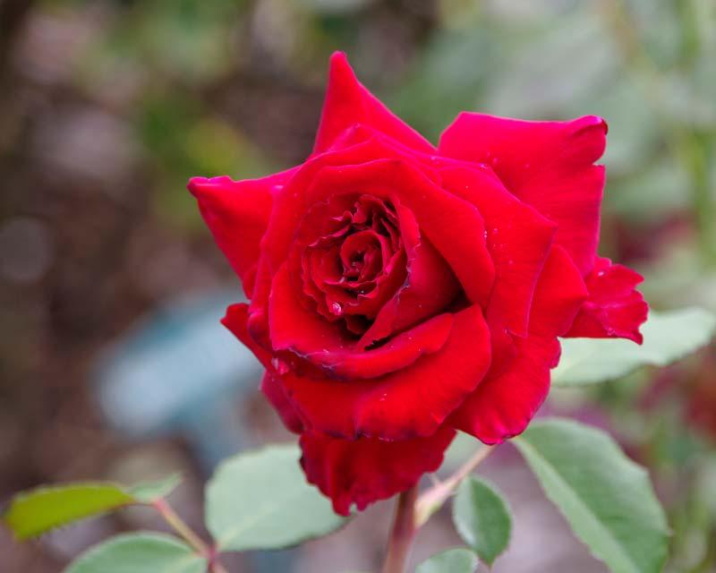 Rosa Hybrid Tea Red Cross