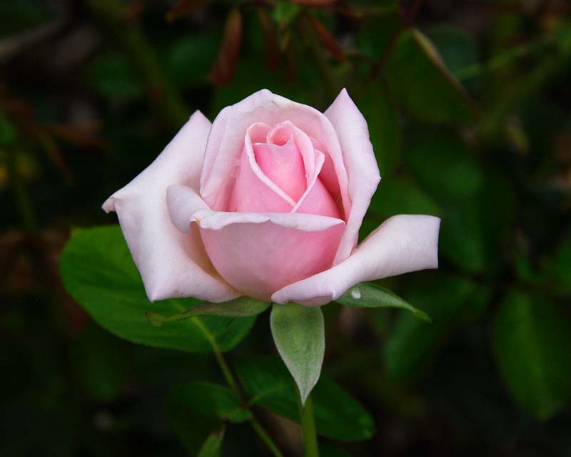 Rosa Hybrid Tea Royal Highness