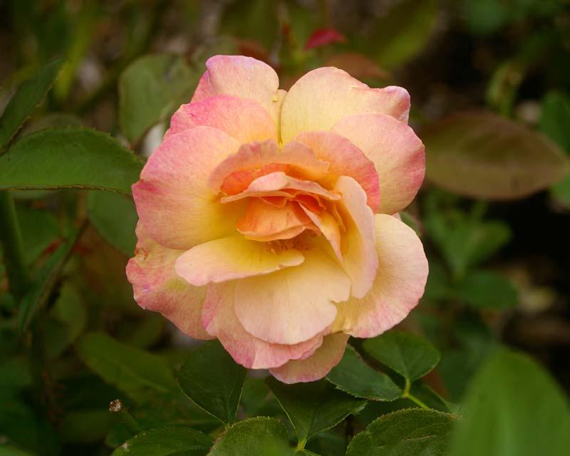Rosa Hybrid Tea Spiced Coffee