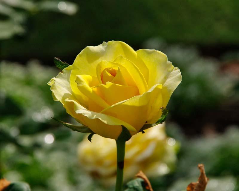 Rosa Hybrid Tea St Patrick