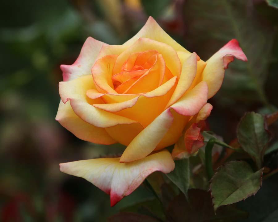 Rosa Hybrid Tea Sunline