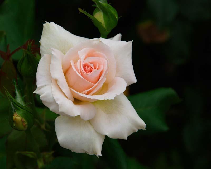 Rosa Hybrid Tea Sweet Sonata