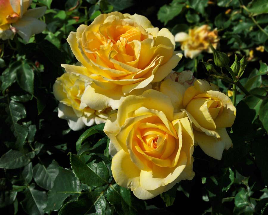 Rosa Hybrid Tea - Tivoli 150 bred by Poulsen Roses of Denmark