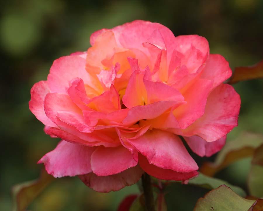 Rosa Hybrid Tea Typhoon